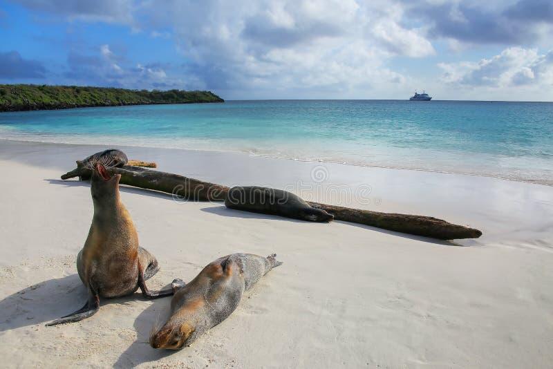 Leones marinos de las Islas Galápagos en la playa en Gardner Bay, isla de Espanola imagen de archivo libre de regalías