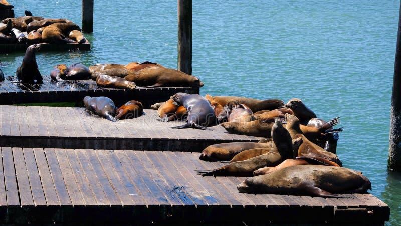 Leones marinos de San Francisco imagen de archivo libre de regalías
