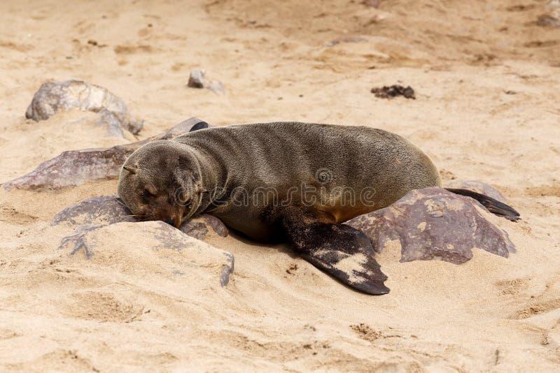Leones marinos en la cruz del cabo, Namibia, fauna imagenes de archivo
