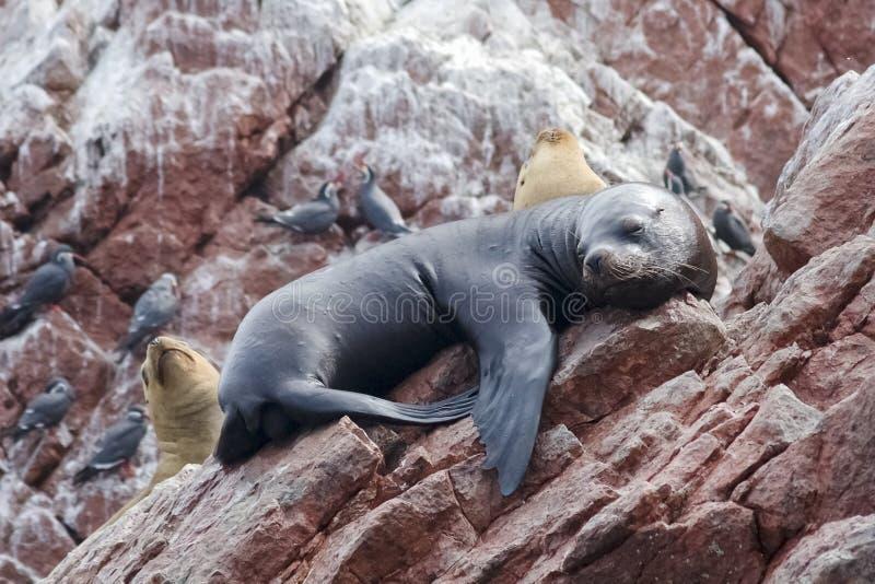 Leones marinos en las islas de Ballestas en el parque nacional de Paracas, Perú imagen de archivo libre de regalías