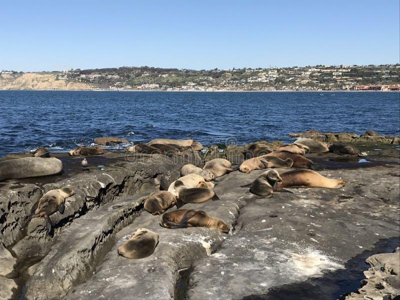 Leones marinos que duermen en una orilla rocosa imagenes de archivo