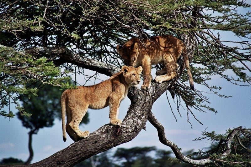 Leones (Pathera leo) imagenes de archivo