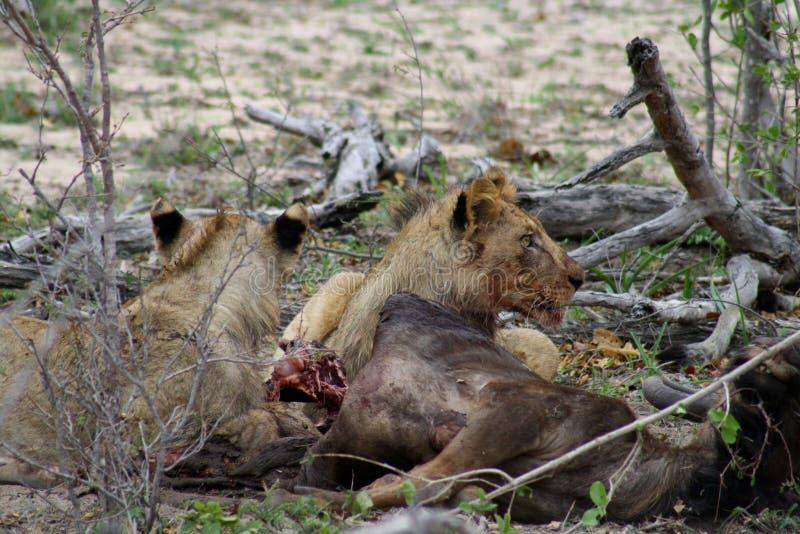 Leones que comen su presa después de una noche de la caza en la sabana imagen de archivo libre de regalías