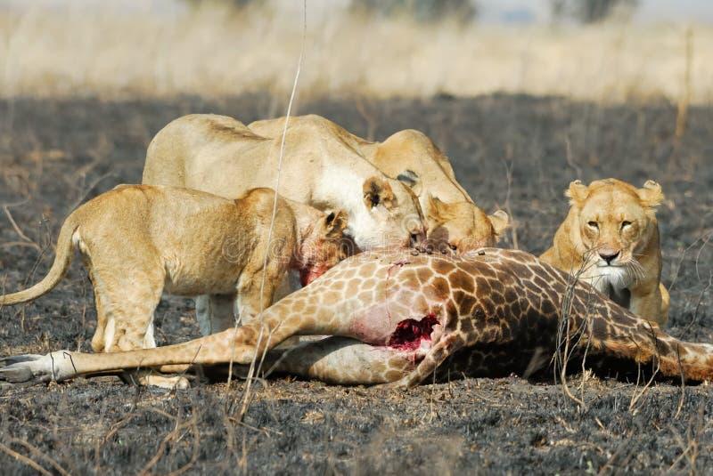 Leones que comen una presa, parque nacional de Serengeti, Tanzania fotos de archivo libres de regalías