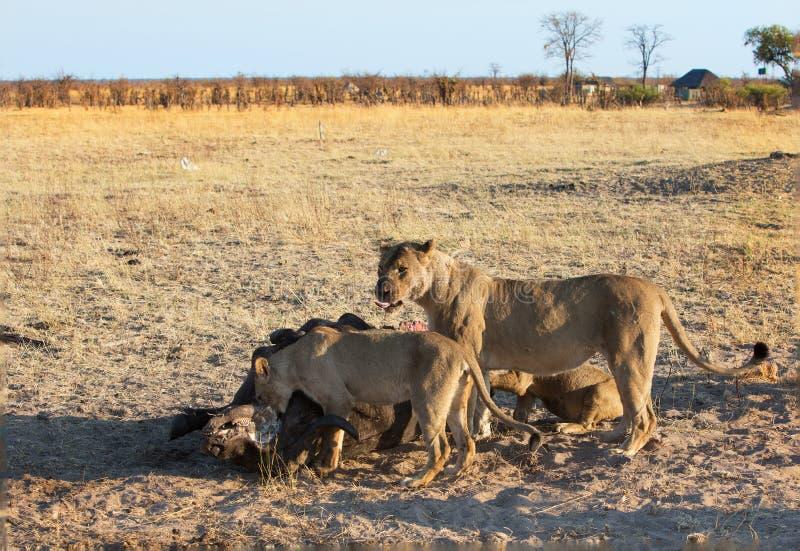 Leones que festejan en una matanza reciente en los llanos africanos abiertos imagen de archivo libre de regalías