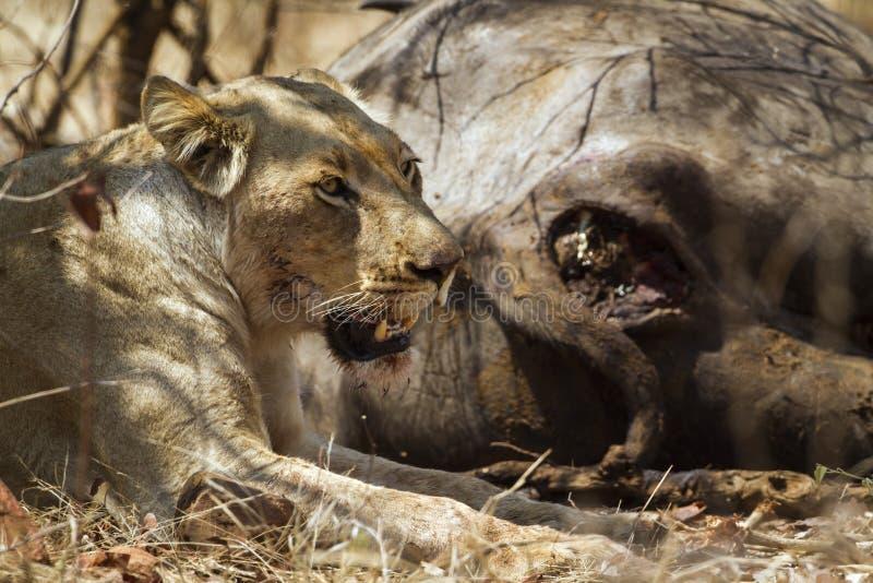 Leonessa che mangia un bufalo morto nel parco nazionale di Kruger fotografia stock libera da diritti