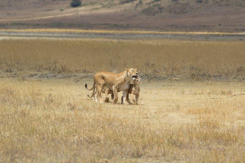 Leonessa con il cucciolo di leone fotografia stock libera da diritti