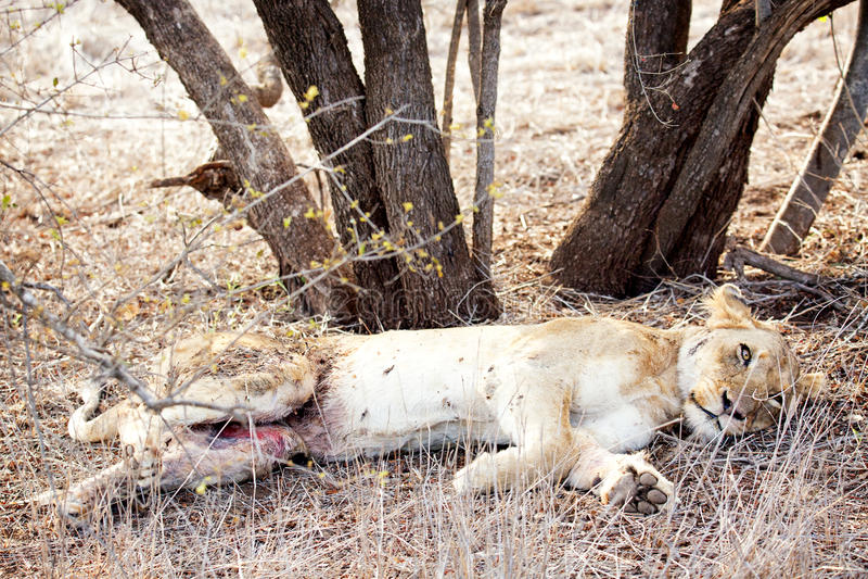 Leonessa danneggiata nel parco nazionale di Kruger fotografia stock libera da diritti