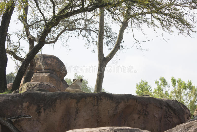 Leonessa di retrovisione che mette sulle rocce che trascurano sotto fotografie stock