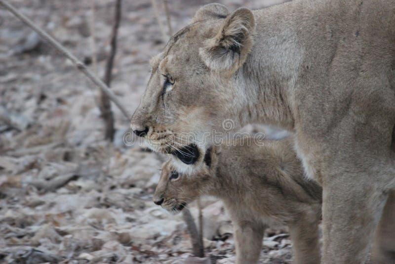 Leonessa ed il suo cucciolo al cittadino Resrve di Gir immagine stock libera da diritti
