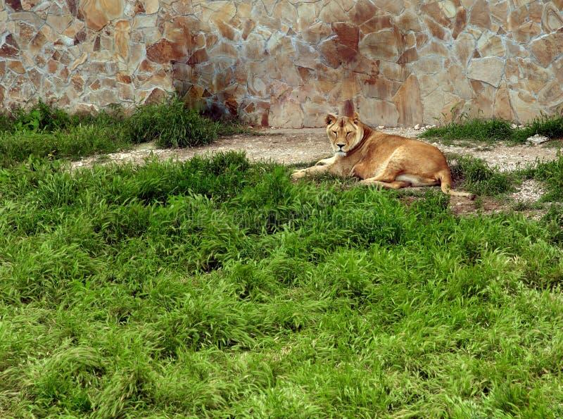 Leonessa sola che si trova sull'erba fotografia stock libera da diritti