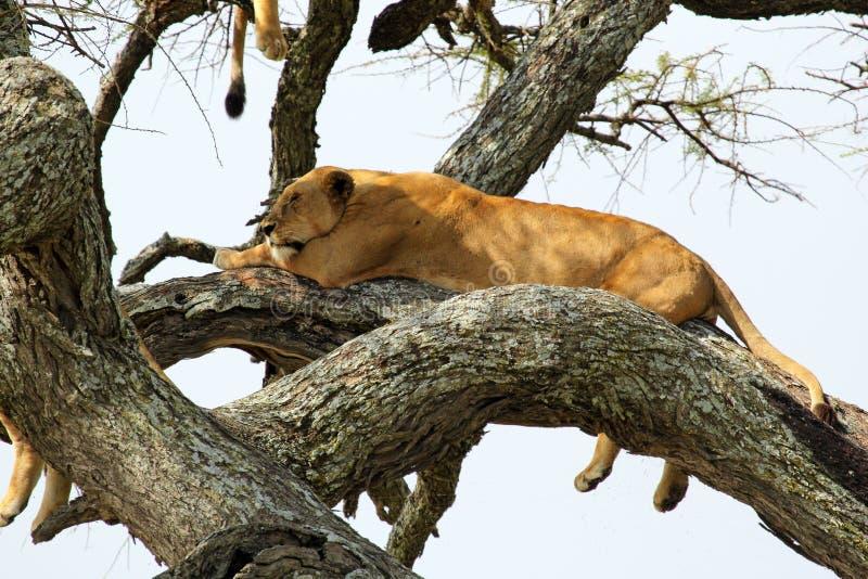 Leonessa su un albero fotografia stock