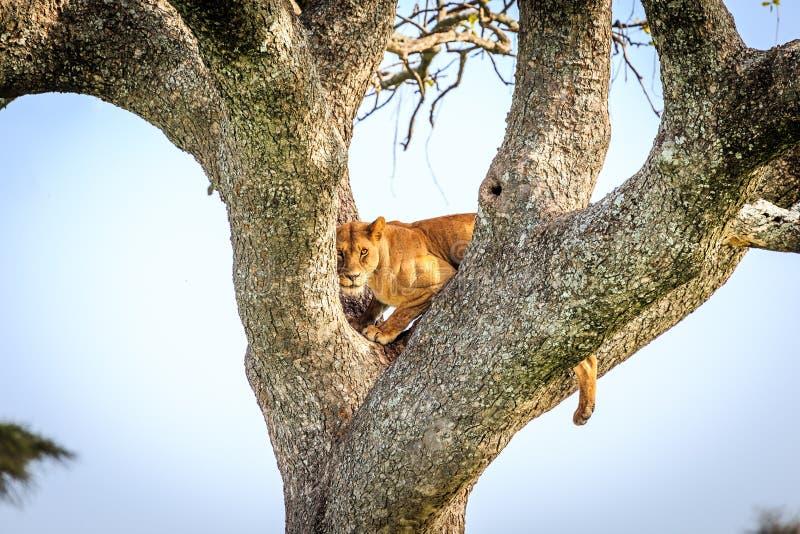 Leonessa sull'albero immagini stock