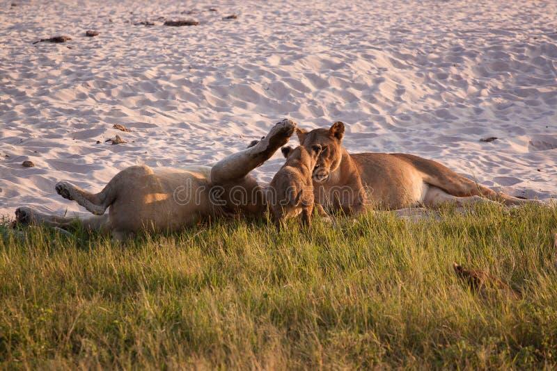 Leonesse che giocano con il loro parco nazionale di Chobe dei cuccioli fotografia stock libera da diritti
