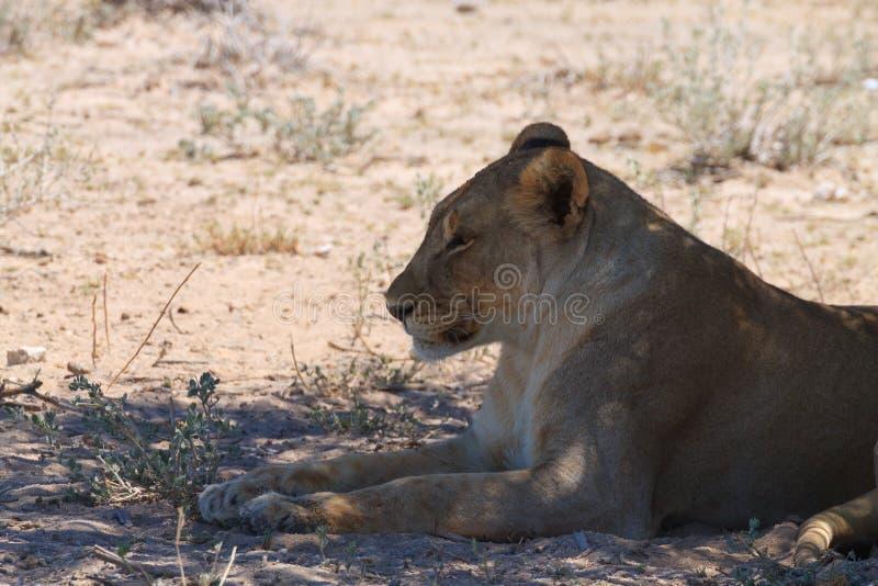 leoni fotografia stock