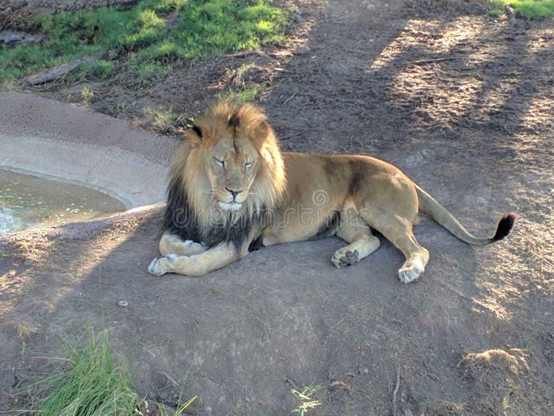 leoni immagini stock