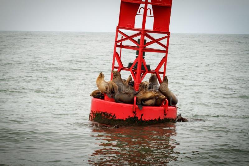 Leoni di mare su una boa fotografia stock libera da diritti