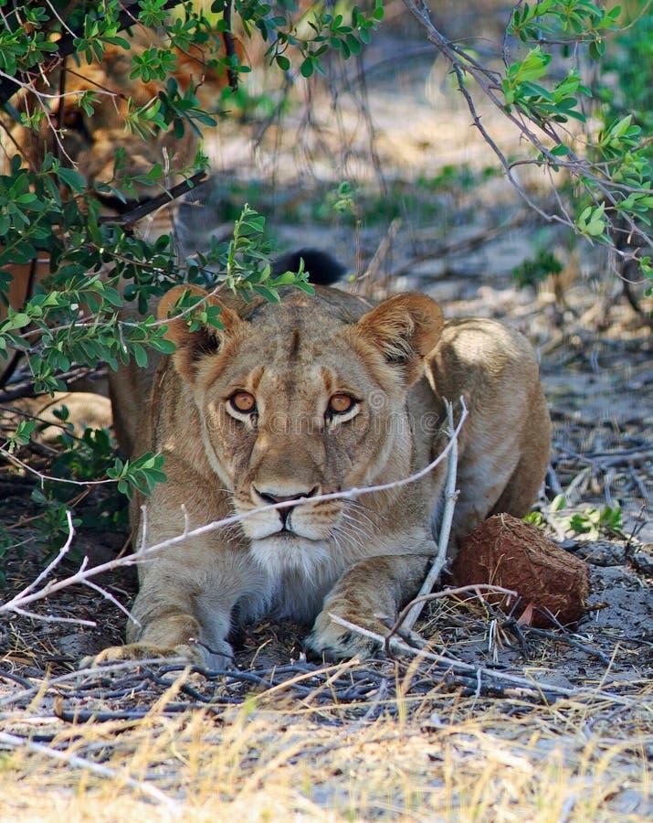 Leoni il suo allarme mentre riposando sotto un cespuglio nel parco nazionale di Hwange immagini stock