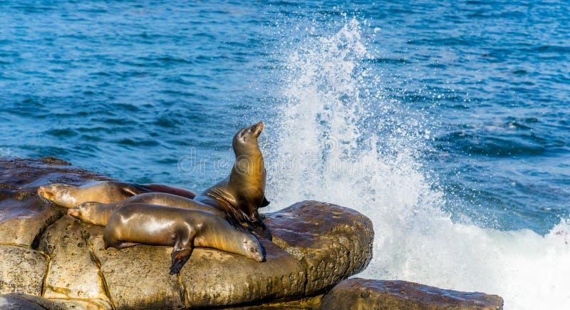 Leoni marini che riposano sulle scogliere, vicino alla spiaggia di La Jolla, San Diego, caloria immagini stock libere da diritti