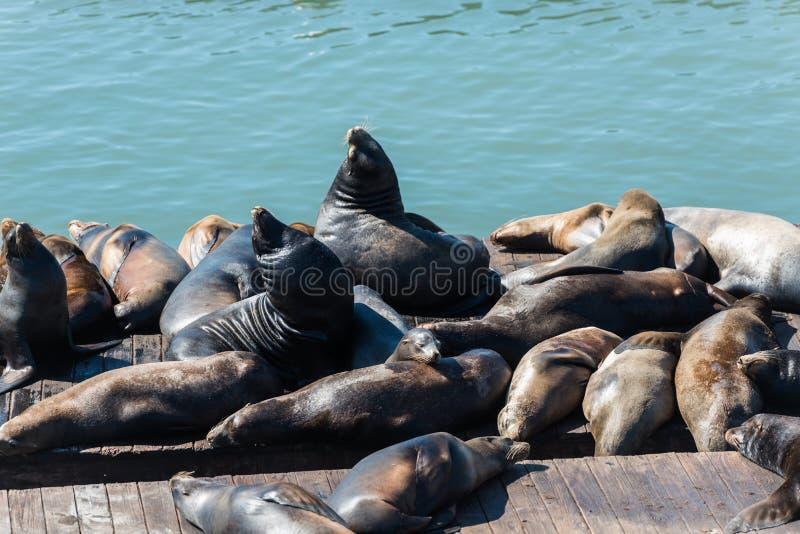 Leoni marini del pilastro 39 a San Francisco fotografie stock