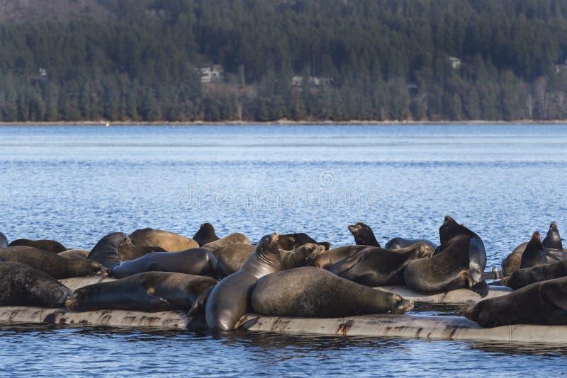Leoni marini di California a Fanny Bay, isola di Vancouver orientale, Bri immagine stock libera da diritti