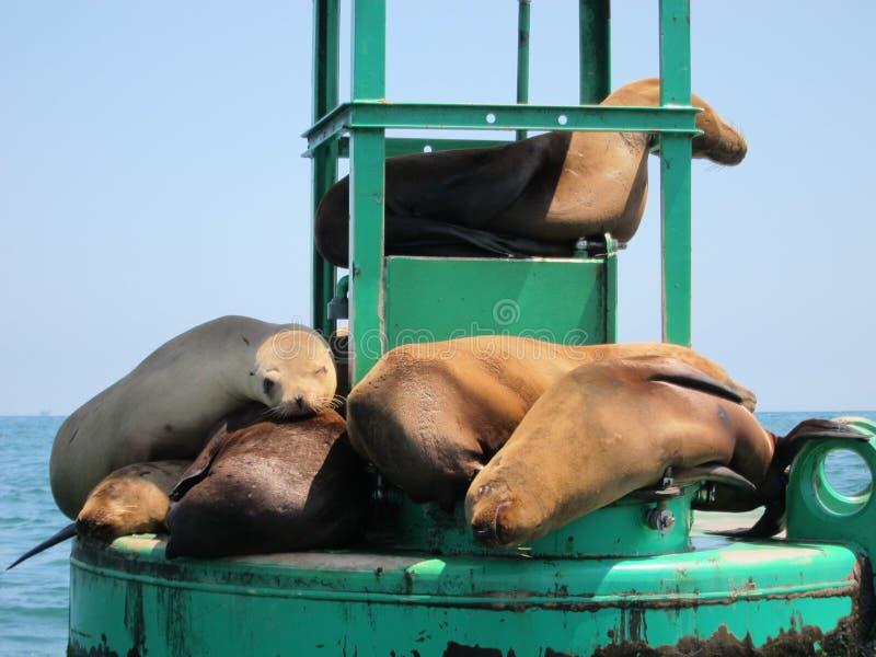 Leoni marini di sonno fotografie stock libere da diritti
