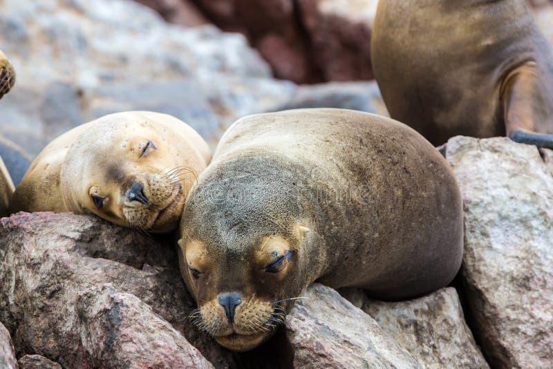 Leoni marini sudamericani che si rilassano sulle rocce delle isole di Ballestas nel parco nazionale di Paracas. Il Perù. immagini stock