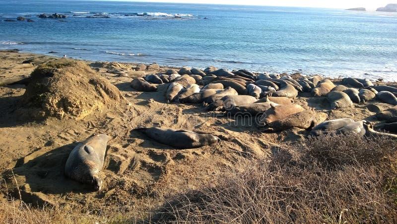 Leoni marini sulla spiaggia fotografia stock