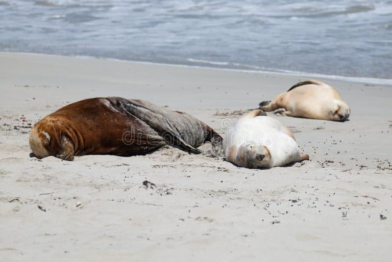 Leoni marini sulla spiaggia immagini stock libere da diritti