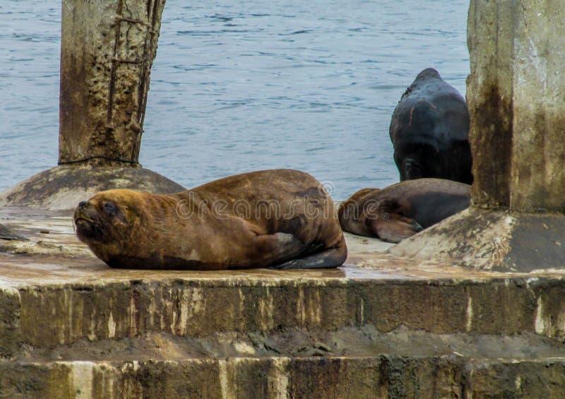 Leoni marini sulla spiaggia della città fotografia stock libera da diritti