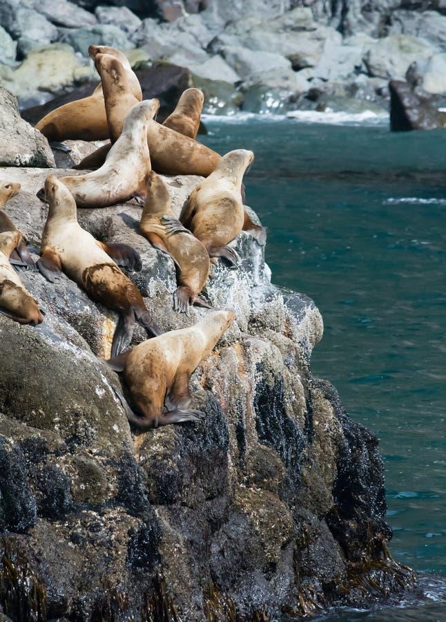 Download Leoni marini sulle rocce immagine stock. Immagine di mare - 55350343