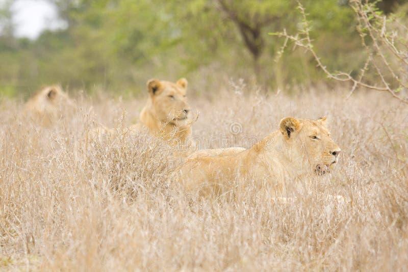 Leoni selvaggi che si riposano nel cespuglio, Kruger, Sudafrica immagini stock libere da diritti