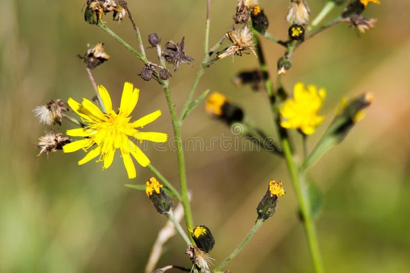 Leontodon seco de la flor del diente de león del descoloramiento con los flores amarillos pasados en otoño - Viersen, Alemania imagenes de archivo