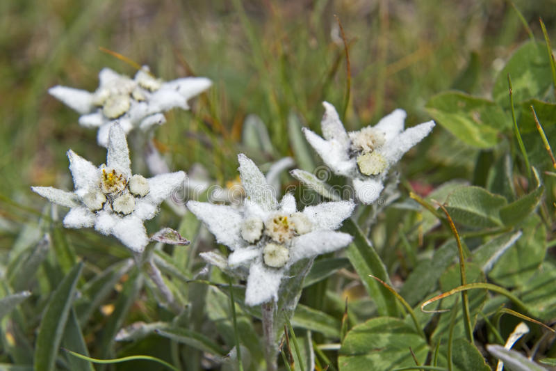 Leontopodium alpinum royalty free stock photography
