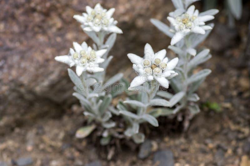 Leontopodium nivale dziwaczni biali kwiaty, kwiatonośna halna roślina obraz stock