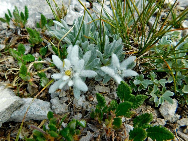 Leontopodium nivale szarotka w Pirin parku narodowym blisko Vihren zdjęcie royalty free