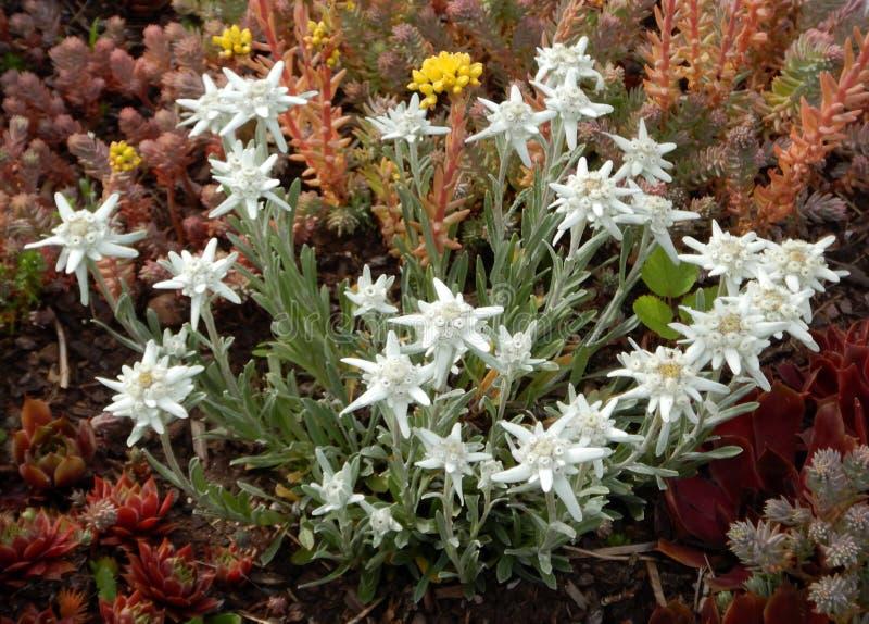 Leontopodium nivale, szarotki góry kwiaty fotografia stock