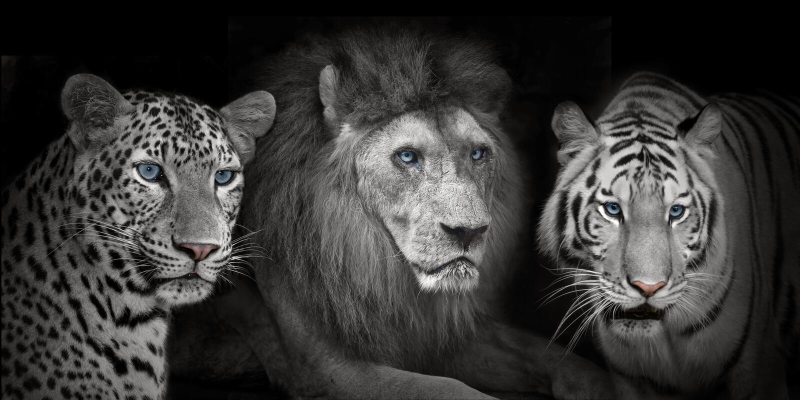 Leopad de los tigres del león imágenes de archivo libres de regalías