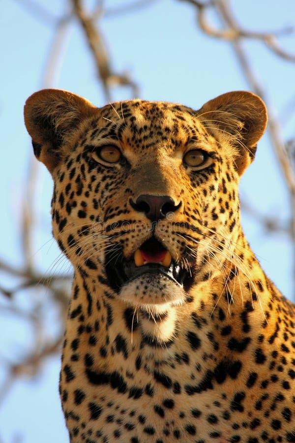 leopard δέντρο στοκ εικόνες