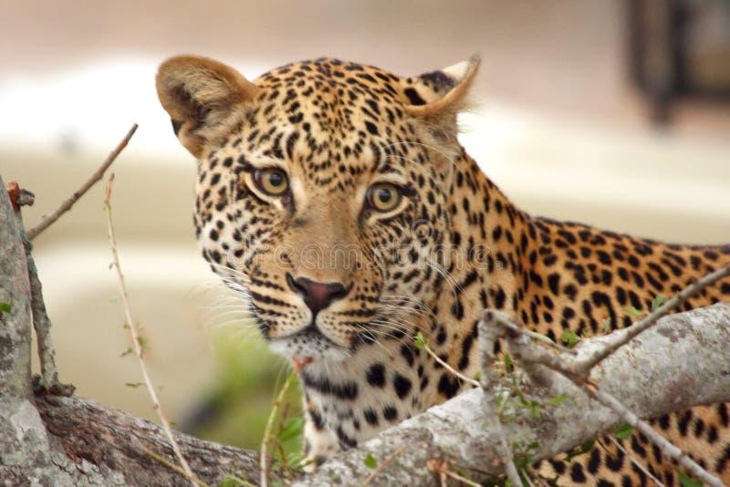 leopard δέντρο στοκ εικόνες με δικαίωμα ελεύθερης χρήσης