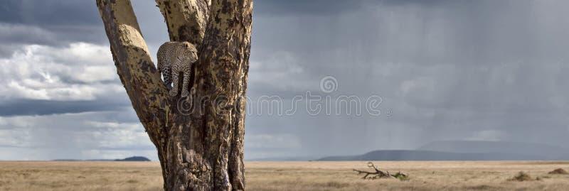 leopard εθνικό δέντρο serengeti πάρκων στοκ εικόνα με δικαίωμα ελεύθερης χρήσης