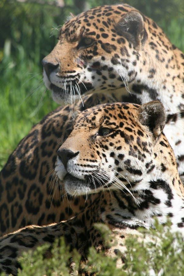 leopard κατακόρυφος ζευγαριού στοκ φωτογραφίες