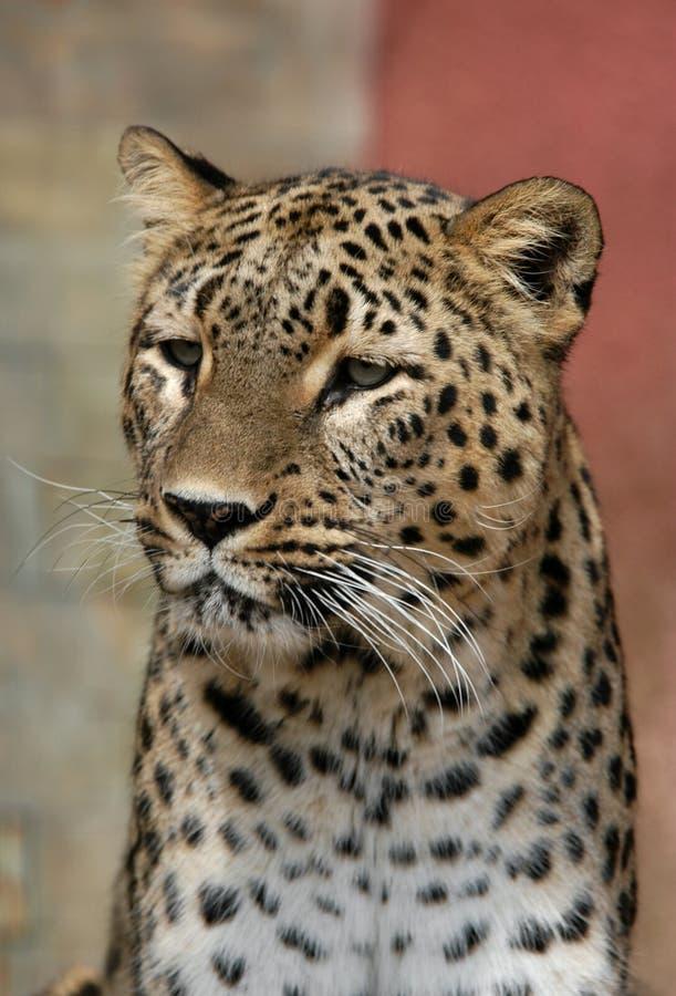 leopard περσικό στοκ φωτογραφία