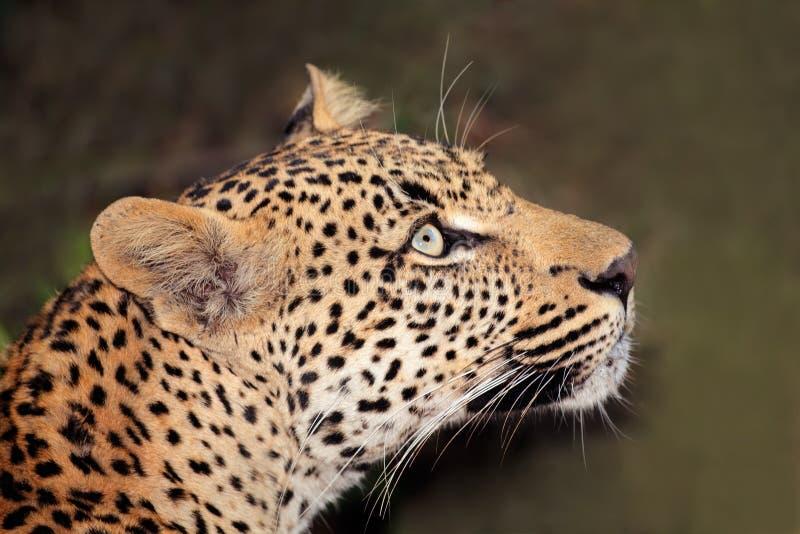 Leopard πορτρέτο στοκ φωτογραφία