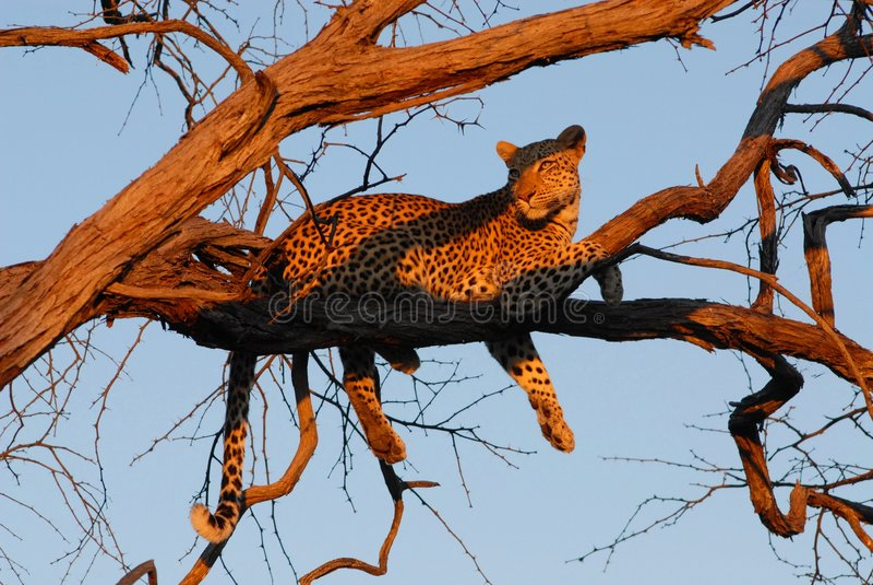 leopard που φαίνεται ηλιοβασίλεμα στοκ εικόνες