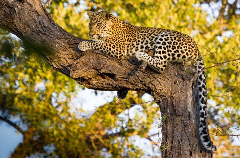 Leopard στο δέντρο στοκ φωτογραφία