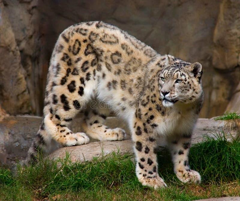 Leopard χιονιού στην αιχμαλωσία στοκ φωτογραφίες