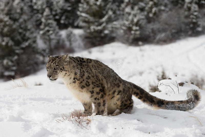 Leopard χιονιού στη χιονισμένη βουνοπλαγιά στοκ εικόνες με δικαίωμα ελεύθερης χρήσης