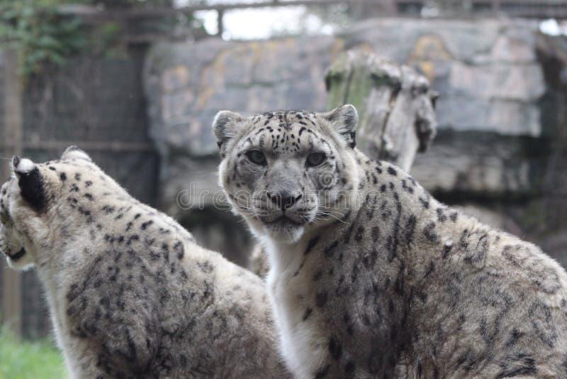 Leopard χιονιού στοκ εικόνα