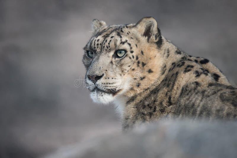 Leopard χιονιού στοκ φωτογραφία με δικαίωμα ελεύθερης χρήσης